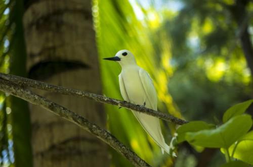 Fairy Tern 1