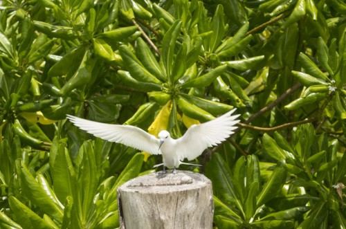 Fairy Tern landing