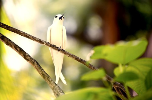 Fairy Tern on Branch
