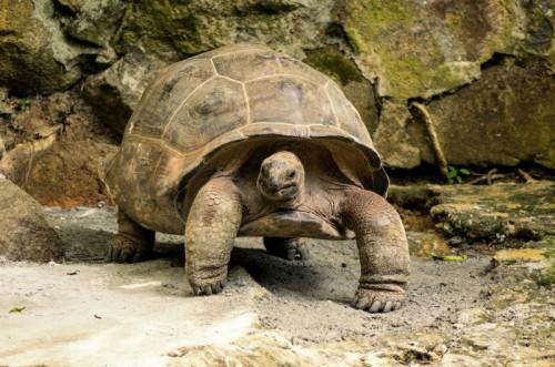 Giant Tortoise (2)