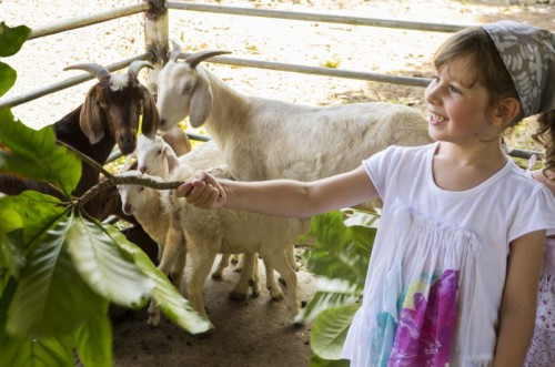 Girl feeding goat